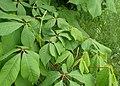 Aesculus parviflora kz03.jpg