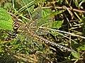 Aeshna mixta (Migrant hawker) female, Elst (Gld), the Netherlands.jpg