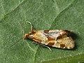 Aethes hartmanniana - Scabious conch (26448429687).jpg