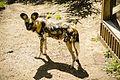 African Wild Dog 2 (14979104426).jpg