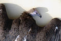 African vulture apri2006.jpg