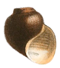 drawing of apertural view of a brown shell
