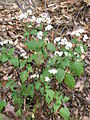 Ageratina adenophora plant3 (11508265645).jpg