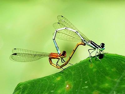 Agriocnemis pieris, mating