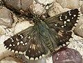 Ajedrezada yunque (Pyrgus armoricanus).jpg