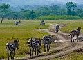Akagera National Park - Troupeau de zèbres 2.jpg
