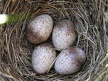Ett sånglärkebo med ägg.