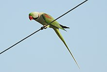 Simeulue parrot - WikiVisually