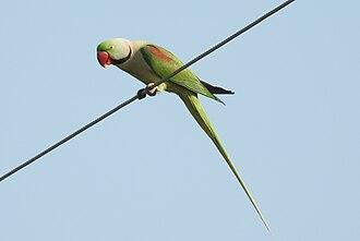 Alexandrine parakeet - Male