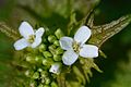 Alliaria petiolata (7131283847).jpg