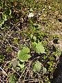 Alliaria petiolata Paludi 01.jpg