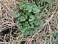 Alliaria petiolata SCA-110421-03.jpg