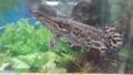 Alligator gar (Atractosteus spatula) in a tank.png
