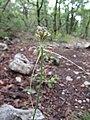 Allium carinatum inflorescence (12).jpg
