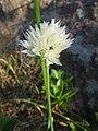 Allium schoenoprasum var. foliosum f. albiflorum.JPG