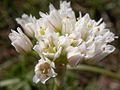 Allium textile (1).jpg