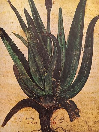 "Aloe - Depiction of Aloe, labeled in Greek ""ΑΛΟΗ"" (Aloë) from the Juliana Anicia Codex, a copy, written in Constantinople in 515 AD, of Dioscorides' 1st century AD work."