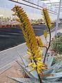 Aloe (4508470039).jpg
