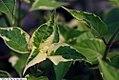 Alternanthera ficoidea Creme de Menthe 2zz.jpg