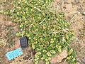 Alternanthera pungens plant4 (11680281075).jpg