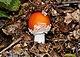 Amanita muscaria qtl4.jpg