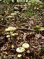 Amanita phalloides20050826.jpg