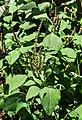 Amaranthus viridis 25042014 1.jpg
