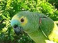 Amazona aestiva -pet in Brazil-8a.jpg