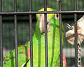 Amazona ochrocephala -captive -upper body-6a.jpg