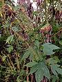 Ambrosia trifida - Giant Ragweed.jpg