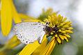 Ambush Bug (Phymata sp.) feeding on a Summer Azure (Celastrina neglecta) (14856408475).jpg