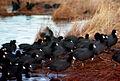American Coot Flock.jpg