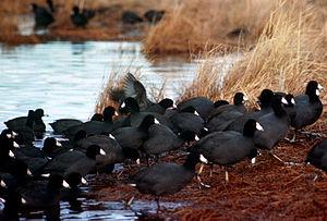 English: American Coot Flock