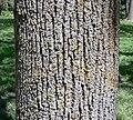 American Linden bark detail.jpg