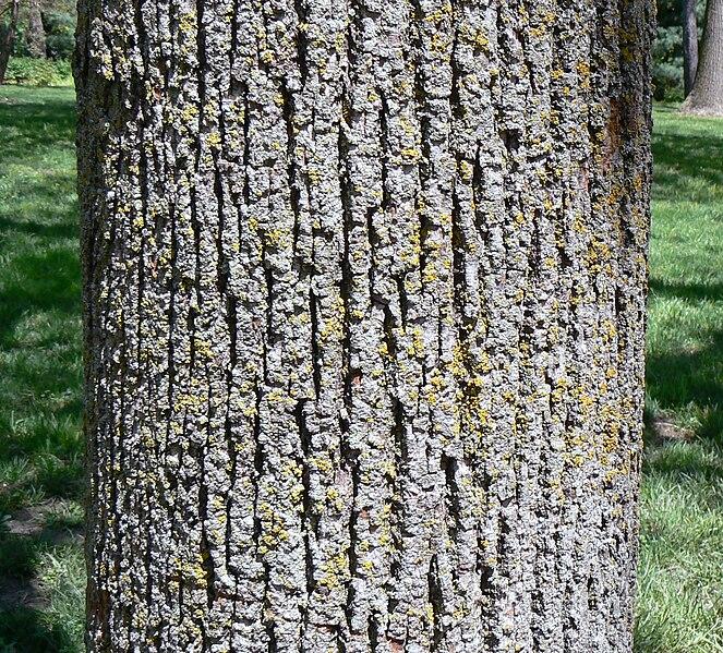 File:American Linden bark detail.jpg