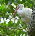 American White Ibis (Eudocimus albus) - Celestun Biosphere Reserve.jpg