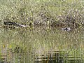 American alligator hiding in the Econlockhatchee River (Central Florida).jpg