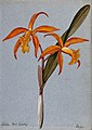 "An orchid (Laelia ""Mrs Gratrix""); flowering stem. Watercolou Wellcome V0043299.jpg"