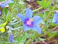 Anagallis monelli subsp. linifolia 2012-5-01 SierraMadrona.jpg