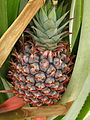 Ananas 01.JPG