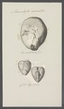 Ananchytes carinatus - - Print - Iconographia Zoologica - Special Collections University of Amsterdam - UBAINV0274 106 03 0010.tif