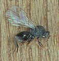 Andricus kollari, galwesp uit knikkergal (1).jpg
