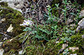 Anemone blanda - Winter windflower 04.JPG