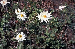 <i>Anemone caroliniana</i> species of plant