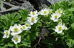 Anemone narcissiflora Hakusanichige in kogouchidake 2003 6 19.jpg