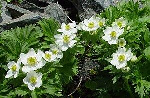 Mount Haku - Image: Anemone narcissiflora Hakusanichige in kogouchidake 2003 6 19