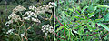Angelica venenosa.jpg