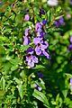 Angelonia angustifolia 'Wedgewood Blue' in Jardin des Plantes de Toulouse 01.jpg