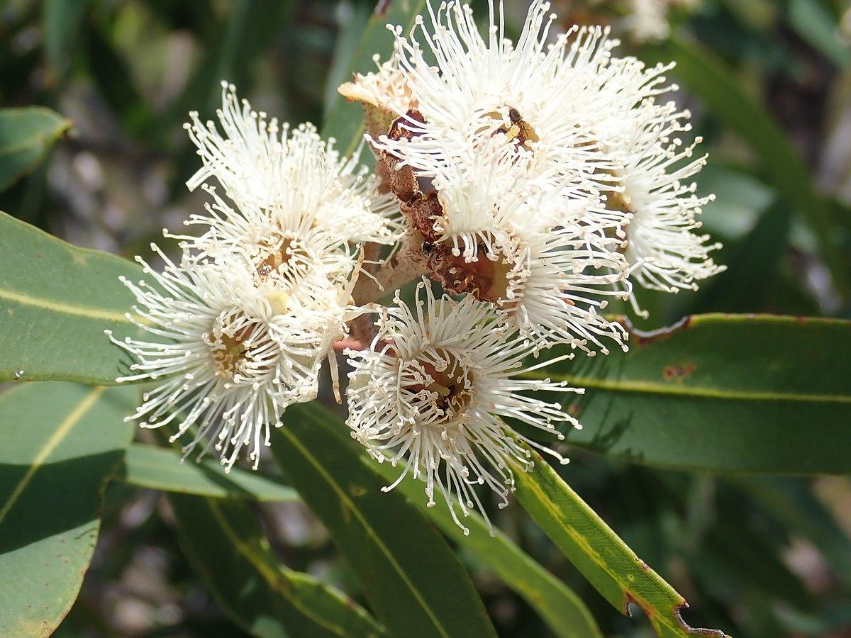 Angophora bakeri subsp. crassifolia - Wikipedia