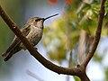 Anna's Hummingbird Calypte anna.jpg